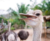 Ostrich with his mouth open Royalty Free Stock Photo