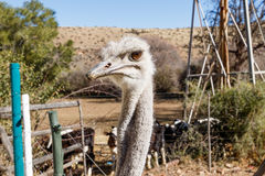 Ostrich - I can see you Stock Photos