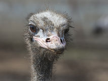 Ostrich. Stock Image