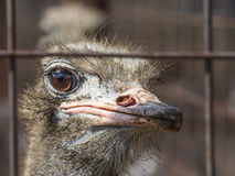 Ostrich. Stock Photography