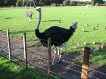 Ostrich i lantgården Royaltyfri Bild