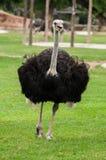 Ostrich i zoo Royaltyfria Bilder