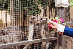 Ostrich i zoo Royaltyfri Bild