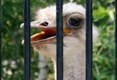 Ostrich i zooen Royaltyfria Bilder