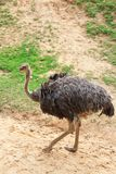 Ostrich. The image of the ostrich are    at khao khaew open zoo in Chonburi Stock Photography