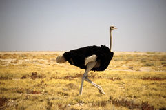 Ostrich In The Bush Royalty Free Stock Image