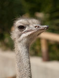 Ostrich. Inquisitive eyes of an ostrich in a zoo in Madrid (Spain Royalty Free Stock Photo