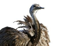 Ostrich isolated on white background Stock Images