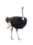 Ostrich isolated Royalty Free Stock Photography