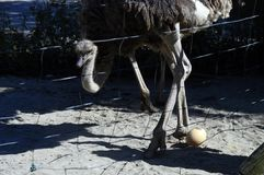Ostrich and its egg. On sand, behind wires, savoy, france Royalty Free Stock Image