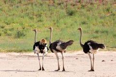 Ostrich, in Kalahari,South Africa wildlife safari. Ostrich, Struthio camelus in Kalahari, green desert after rain season. Kgalagadi Transfrontier Park, South stock images