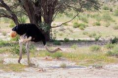 Ostrich, in Kalahari,South Africa wildlife safari. Ostrich, Struthio camelus in Kalahari, green desert after rain season. Kgalagadi Transfrontier Park, South stock image