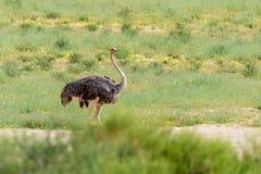Ostrich, in Kalahari,South Africa wildlife safari. Ostrich, Struthio camelus in Kalahari, green desert after rain season. Kgalagadi Transfrontier Park, South royalty free stock images