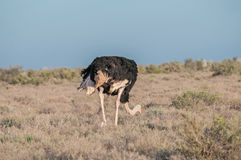 Ostrich in the Karoo National Park Royalty Free Stock Photography