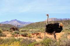 Ostrich in the Karoo. The Ostrich (struthio camelus) is a member of a group of birds known as ratites, that is they are flightless birds without a keel to their Stock Images