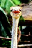 Ostrich in Khao Kheow Open Zoo. In Thailand Stock Photo