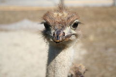 Ostrich - kids. Young ostrich birds in the farm Royalty Free Stock Photo