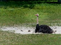 Ostrich Laid Down royalty free stock photo