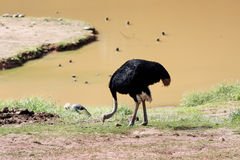 Ostrich in a Lake Royalty Free Stock Photo