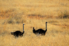 Ostrich landscape Royalty Free Stock Image