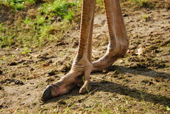 Ostrich legs Stock Photo