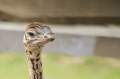 Ostrich litter. Young ostrich curious close up Stock Image