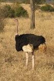 Ostrich Royalty Free Stock Photo