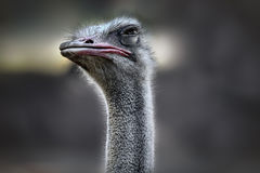 The ostrich look Stock Photo