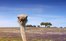 Ostrich look royalty free stock photos