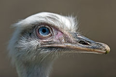 Ostrich look 1 Stock Photos