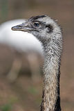 Ostrich look 2 Royalty Free Stock Photos