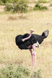 Ostrich looking. In the African savannah in a sunny day. It is an image vertically Royalty Free Stock Image