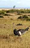 Ostrich looking. In the African savannah in a sunny day. It is an image vertically Royalty Free Stock Photography