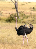 Ostrich looking Stock Images