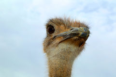 Ostrich. Looking around in the Arizona desert Stock Image