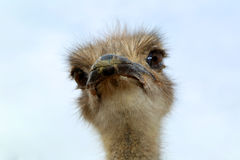 Ostrich. Looking around in the Arizona desert Stock Photos
