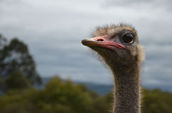 Ostrich looking left. Ostrich head looking to the left on a background of park Royalty Free Stock Image