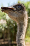 Ostrich looking meaningful Royalty Free Stock Photos