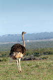 Ostrich looking in the other direction Stock Photos