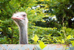 Ostrich is looking over the wall Stock Images