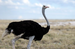 Ostrich looking somewhere Royalty Free Stock Image