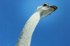 Big Bird. Looking up at a tall ostrich Royalty Free Stock Image