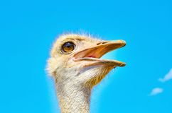 Ostrich looks away with open beaks, close-up portrait.  royalty free stock photos
