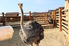 Ostrich looks. Ostrich in a cage looking at the camera Royalty Free Stock Photo