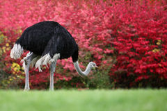 Ostrich. The lovely ostrich is seeking food Royalty Free Stock Photo