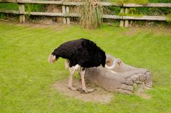 Ostrich lowering down to eat royalty free stock photos