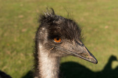 Ostrich at Lunchtime. Close-up of an ostrich chewing on a stick Stock Photo