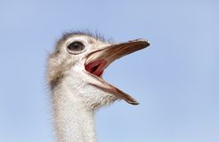 Ostrich making rumbling sound Stock Photos