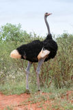 Ostrich Male. In low bushland, Tsavo National Park, Kenya Stock Photo