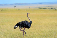Ostrich Stock Photos